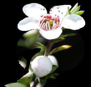 manuka-flower
